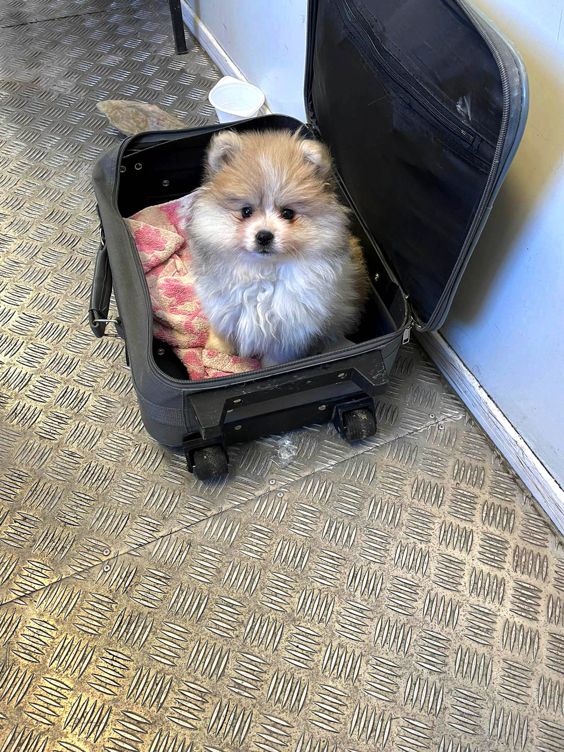 Cute Puppy Smuggled In Suitcase Saved By Border Cops