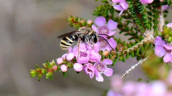 L. gracilipes is one of the species assessed as vulnerable in a report that investigated the damages caused by the 2019-2020 Australian brushfires. (Courtesy of Ken Walker/iNaturalist Australia)