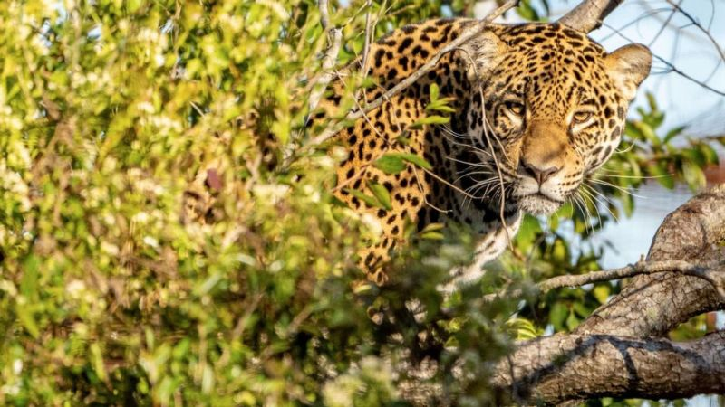 Arami, a female jaguar born in 2018 and raised in special conditions for three years, without human contact and fed live prey, returned to the wild this month. (Fundacion Rewilding Argentina/Zenger)